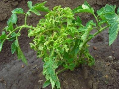 Скручивание верхушки томатов