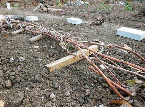 Снятие укрытия с винограда