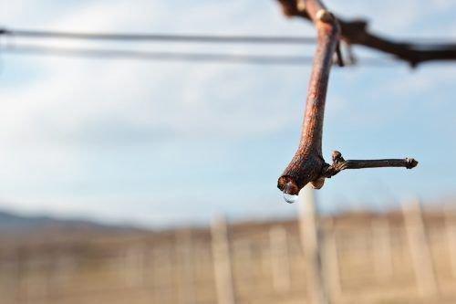 Сокодвижение на виноградной лозе