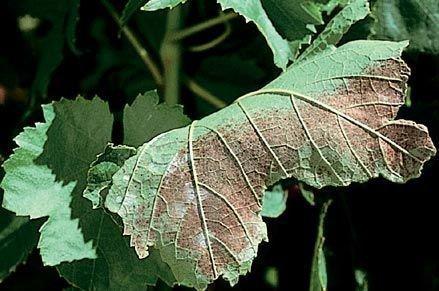 Солнечный ожог винограда