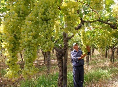 Урожай винограда сорта Солярис