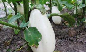 Изумительные баклажаны белого цвета