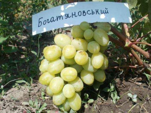 Сорт Богатяновский