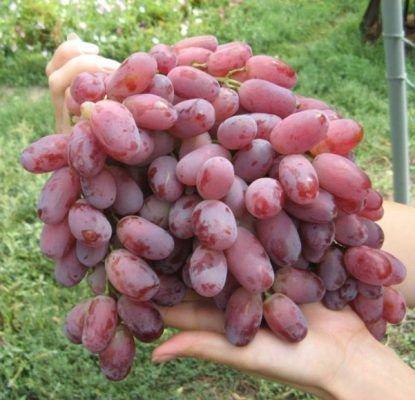 Сорт винограда Потомок Ризамата
