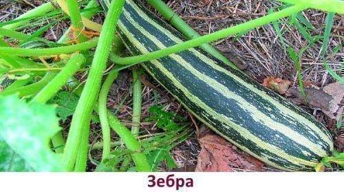 Сорт Зебра