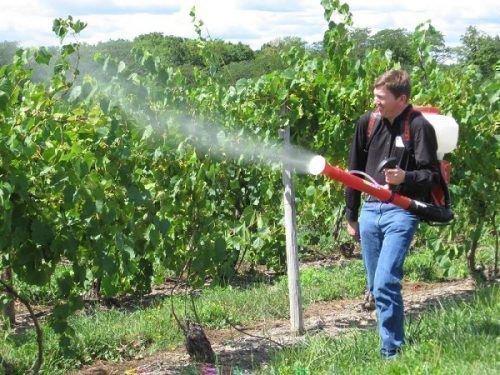 Способ обработки винограда