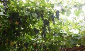 Полярность виноградной лозы