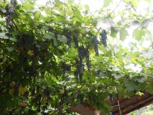 Старый виноград