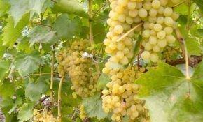 Современные способы выращивания столового винограда