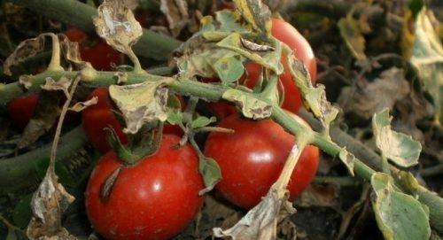 Сухая пятнистость томатов
