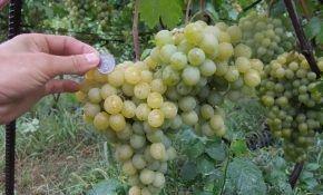 Сорт винограда Тигин: подробное описание