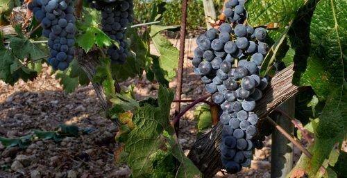 Виноград Тинто Фино