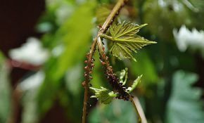 Народные методы лечения винограда