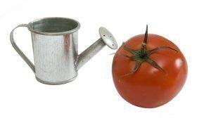 Условия для полива при выращивании помидоров в теплице