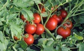 Ультраранний и очень вкусный томат