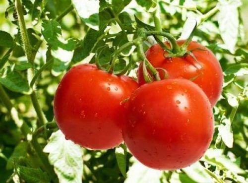 Плоды томата Катя F1