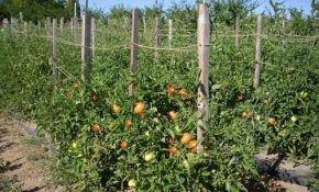 Секреты посадки рассадой и выращивание помидоров в открытом грунте