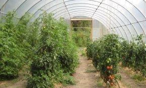 Как правильно выращивать томаты в теплице из поликарбоната