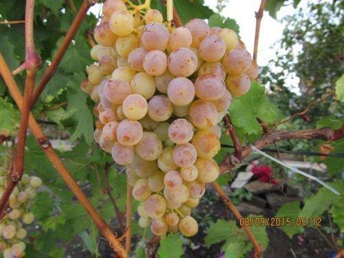 Гроздь винограда Тукай