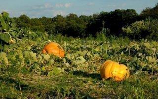 Сроки высадки тыквы в открытый грунт