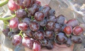 Туз Бордо – новейший гибридный сорт винограда