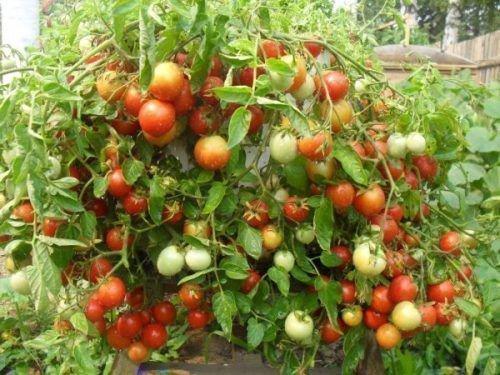 Урожайность томата Катюша