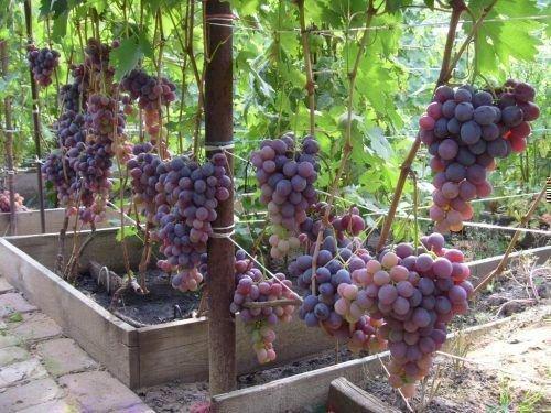 Низина на винограднике