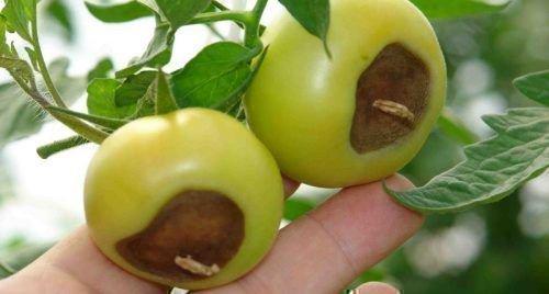 Вершинная гниль помидоров