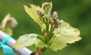 Уход за виноградом в начале весны
