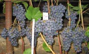 Сорта винограда для новичков
