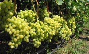 Какие бывают лучшие сорта среди винограда