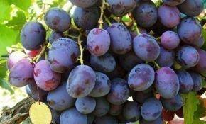 Виноград с названием Армани.