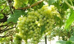 Виноградный сорт Августин