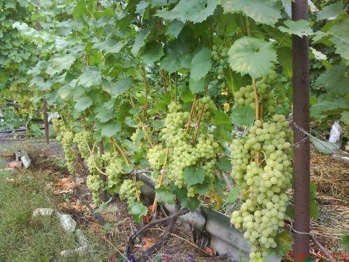 Виноград Августин растет