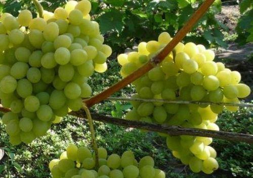 Виноград Августин урожайность