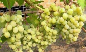 Виноград  сорта Белая красавица - Фрумоаса Албэ