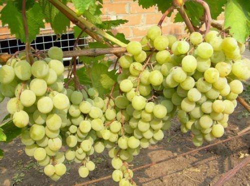 Виноград Белая красавица