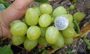 Особенности винограда Белое Чудо