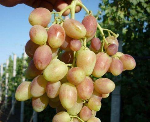 Виноград Бийская роза