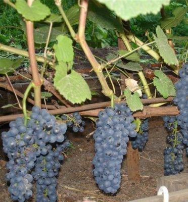 Виноград бчз