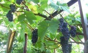 Преимущества винограда черный жемчуг