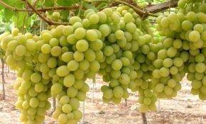 Столовый сорт винограда Фаворит