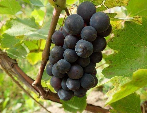 Виноград Франкенталь