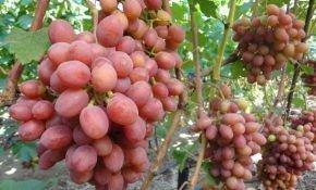 Виноградный сорт Гурман ранний