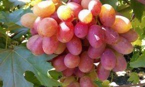 Сорт винограда Журавлик