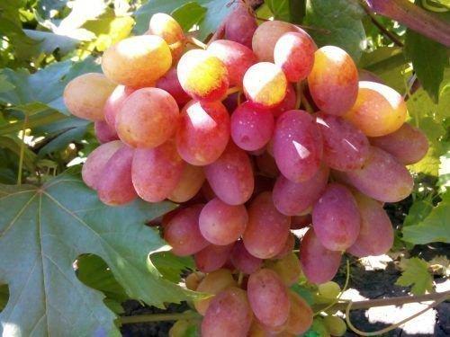Созревшая гроздь винограда