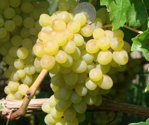 Виноград сорта Кишмиш 342