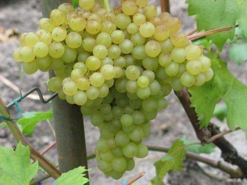 Гроздь винограда Кишмиш 342