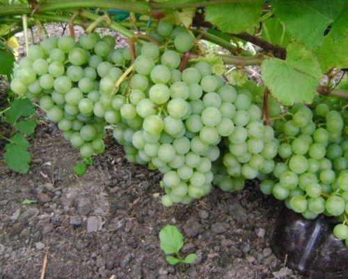 Поспевший урожай винограда Краса Севера