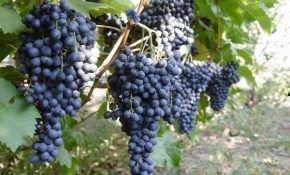 Все о винограде красень